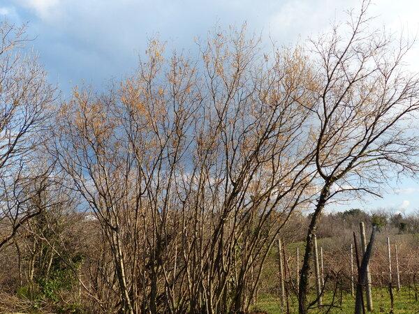 Ostrya carpinifolia Scop.