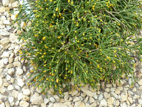 Hatiora salicornioides (Haw.) Britton & Rose