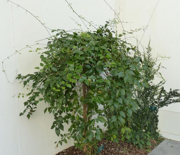Jasminum subhumile W.W.Sm.