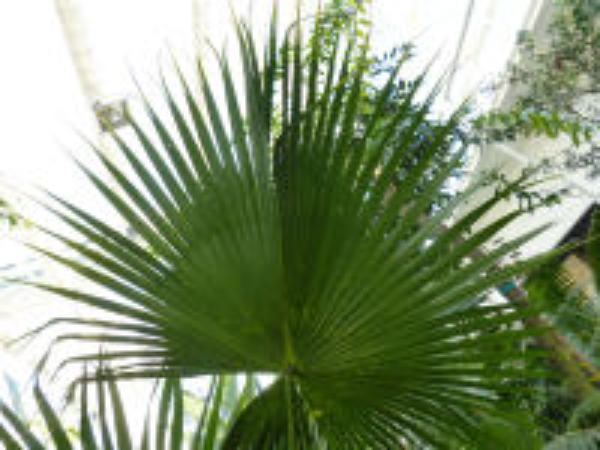 Livistona chinensis (Jacq.) R. Br. ex Mart.