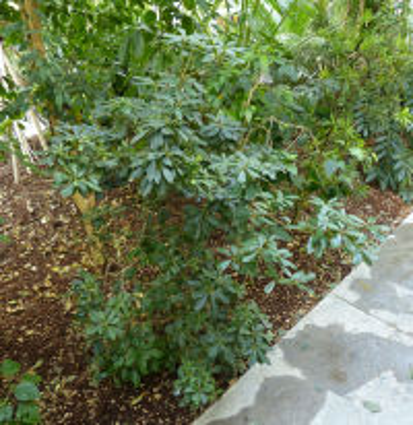 Pittosporum heterophyllum Franch.