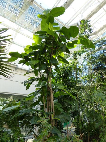Coccoloba tenuifolia L.