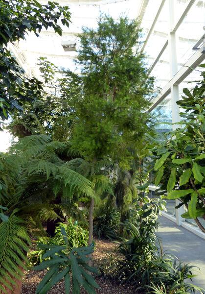 Melaleuca decora (Salisb.) Britten