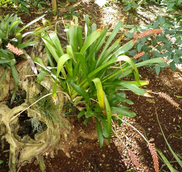 Aechmea pineliana Baker
