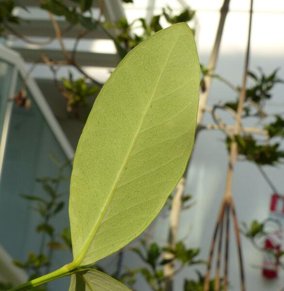 Avicennia germinans (L.) L.