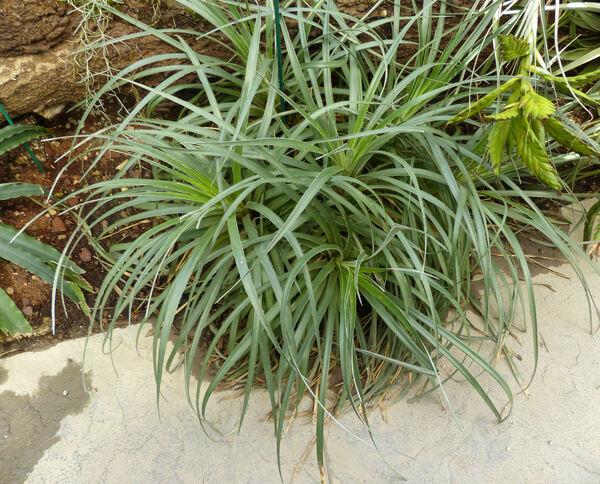 Fascicularia pitcairniifolia (B.Verl.) Mez