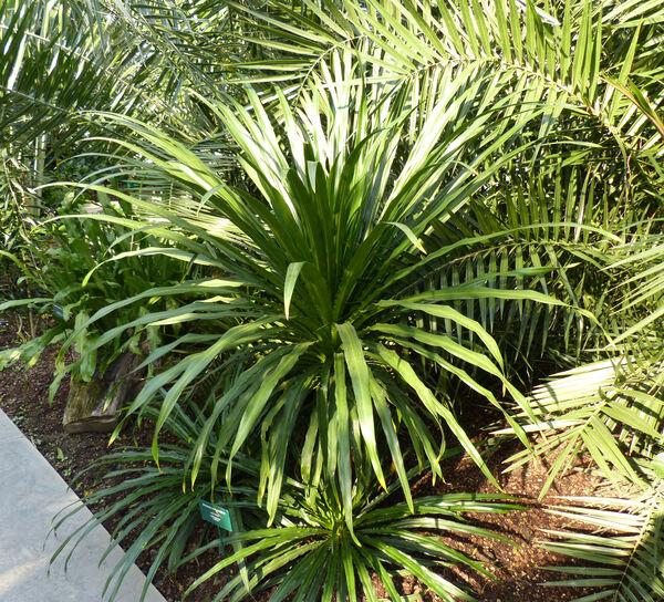 Dracaena umbraculifera Jacq.
