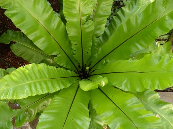 Asplenium nidus L.