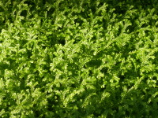 Selaginella kraussiana (Kunze) A.Braun
