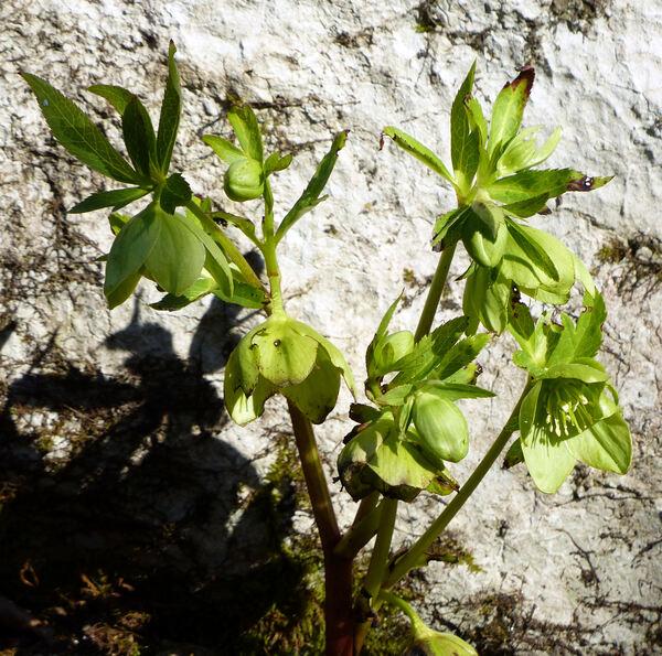 Helleborus viridis L. subsp. istriacus (Schiffn.) Cristof. & Zanotti