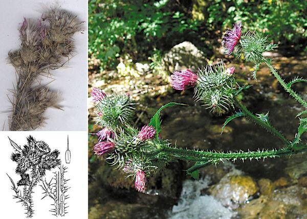 Cirsium creticum (Lam.) d'Urv. subsp. triumfettii (Lacaita) K.Werner