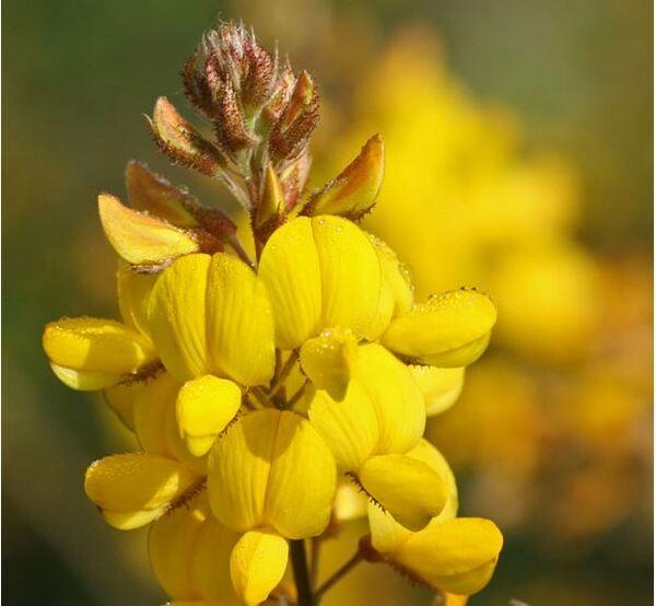 Adenocarpus complicatus (L.) J.Gay subsp. samniticus (Brullo, De Marco & Siracusa) Peruzzi