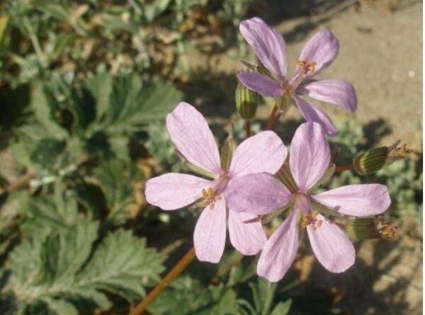 Erodium laciniatum (Cav.) Willd. subsp. laciniatum