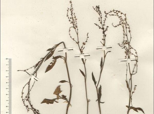 Rumex acetosella L. subsp. pyrenaicus (Pourr. ex Lapeyr.) Akeroyd