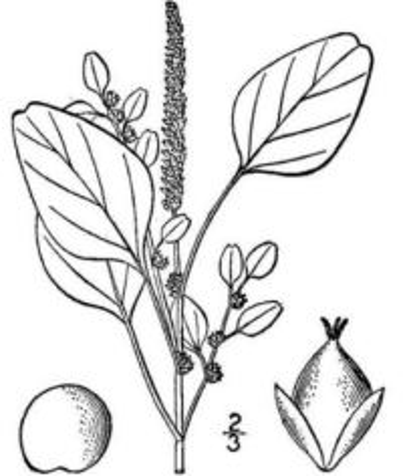 Amaranthus emarginatus Salzm. ex Uline & W.L.Bray subsp. emarginatus