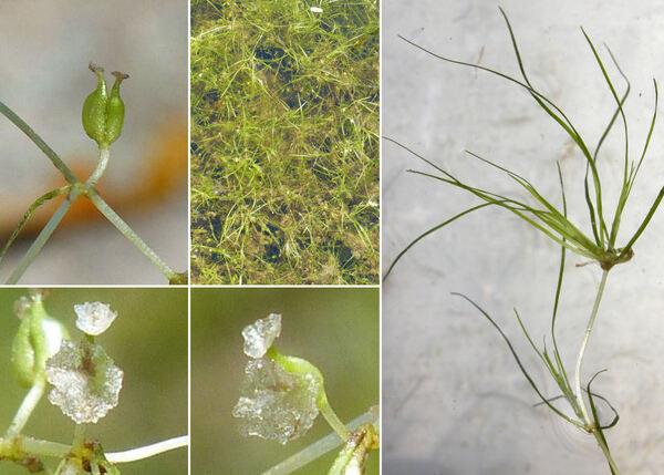 Zannichellia palustris L.
