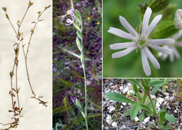 Silene nocturna L. subsp. nocturna