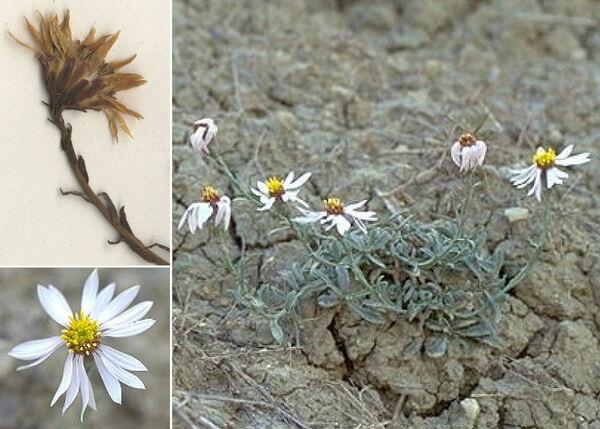 Tripolium sorrentinoi (Tod.) Raimondo & Greuter