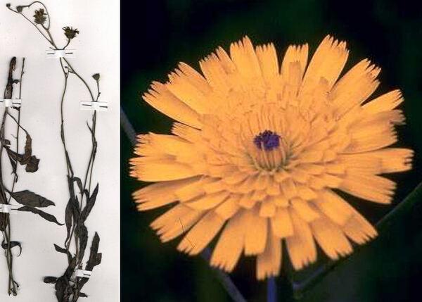 Tolpis virgata (Desf.) Bertol. subsp. grandiflora (Ten.) Arcang.