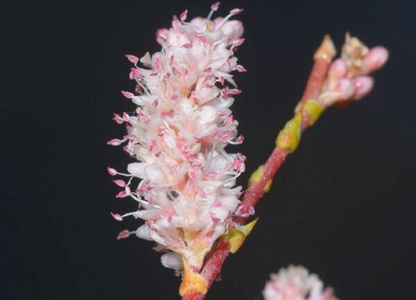 Tamarix parviflora DC.