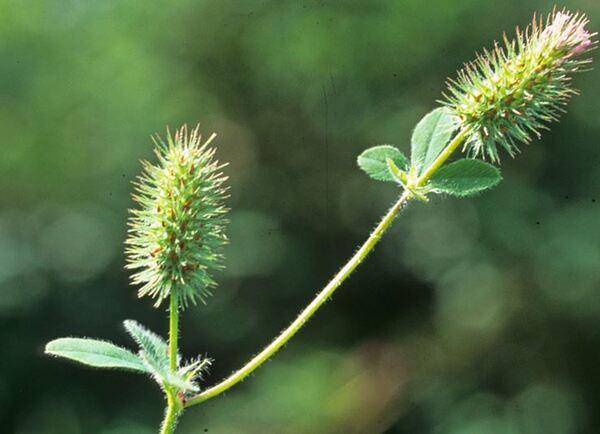 Trifolium ligusticum Balb. ex Loisel.