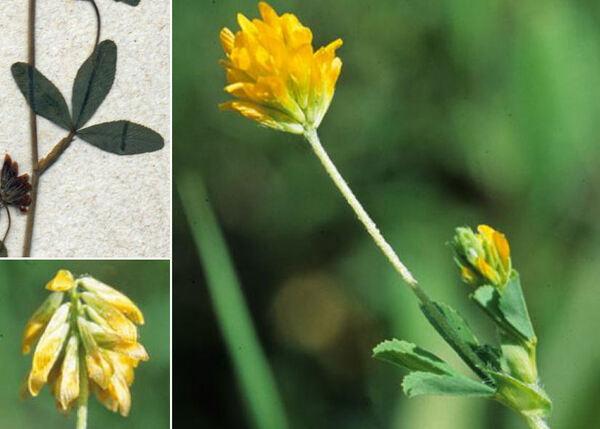Trifolium sebastiani Savi
