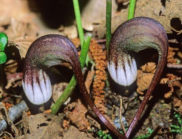Arisarum proboscideum (L.) Savi