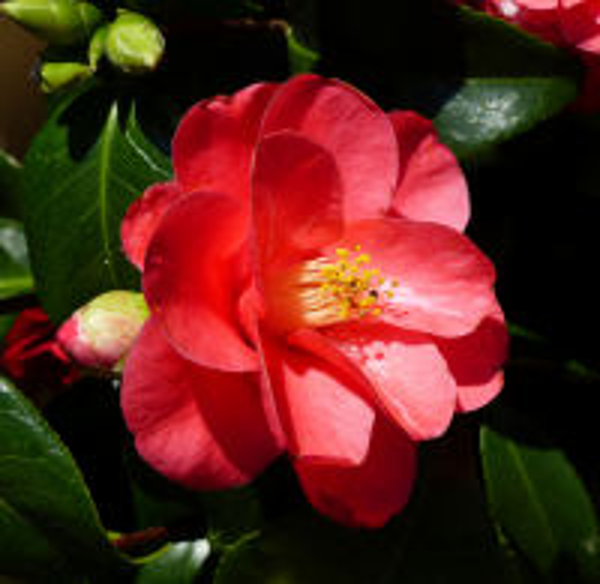 Camellia japonica L. 'Principessa Baciocchi'