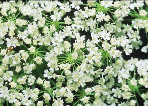 Chaerophyllum magellense Ten.