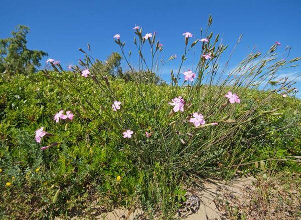 Dianthus tarentinus Lacaita