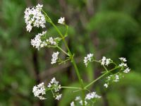 Galium palustre L. subsp. elongatum (C.Presl) Arcang.