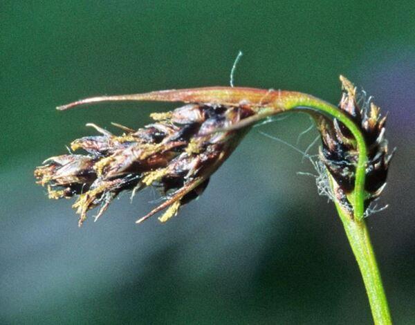 Luzula spicata (L.) DC. subsp. italica (Parl.) Arcang.