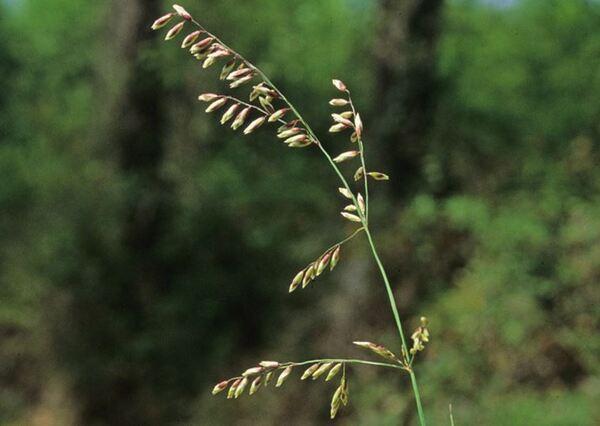 Melica minuta L. subsp. latifolia (Coss.) W.Hempel