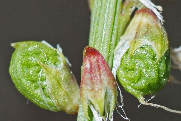 Trigonella italica (L.) Coulot & Rabaute