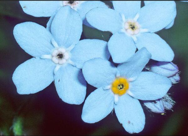 Myosotis decumbens Host subsp. florentina Grau