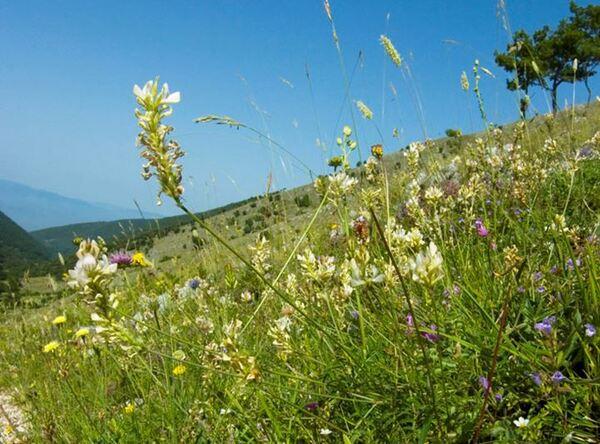 Onobrychis alba (Waldst. & Kit.) Desv. subsp. alba