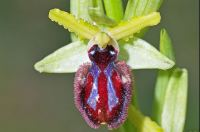 Ophrys incubacea Bianca