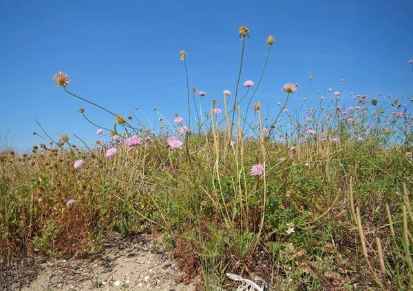 Sixalix atropurpurea (L.) Greuter & Burdet subsp. grandiflora (Scop.) Soldano & F. Conti