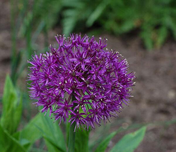 Allium aflatunense B. Fedtsch. 'Purple Sensation'