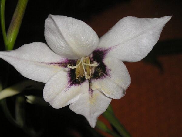 Gladiolus murielae Kelway