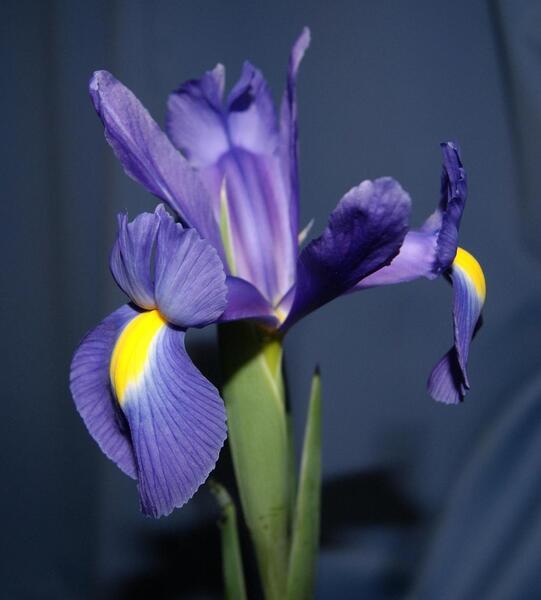 Iris x hollandica Hort.