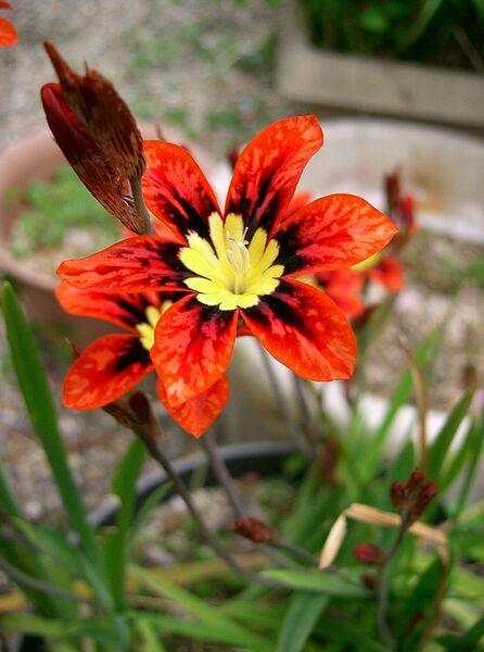 Sparaxis tricolor (Schneev.) Ker Gawl.