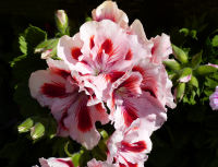 Pelargonium grandiflorum Willd.