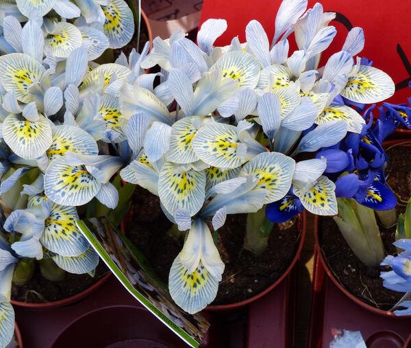 Iris reticulata M.Bieb. 'Katharine Hodgkin'