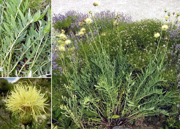Rhaponticoides alpina (L.) M.V.Agab. & Greuter