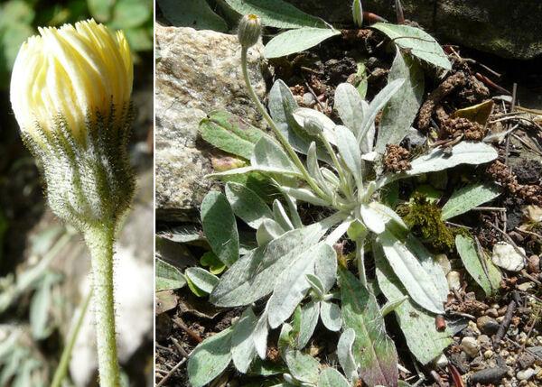 Pilosella velutina (Hegetschw.) F.W.Schultz & Sch.Bip.