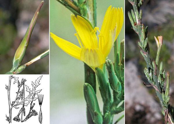 Lactuca viminea (L.) J.Presl & C.Presl
