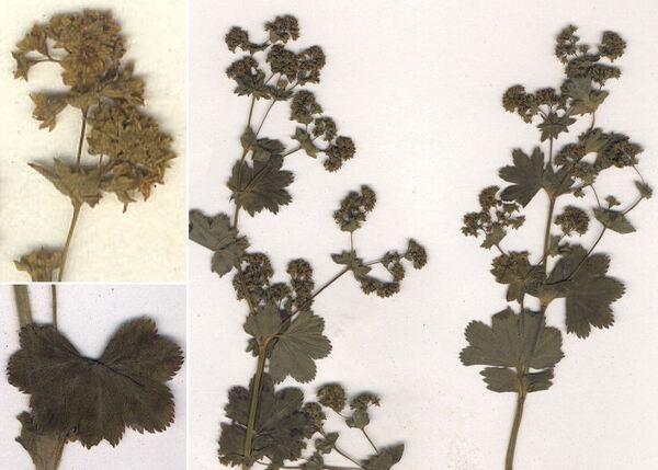 Alchemilla undulata Buser