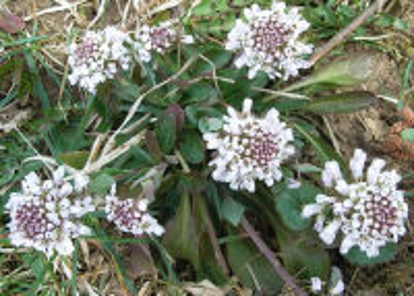 Noccaea caerulescens (J.Presl & C.Presl) F.K.Mey.