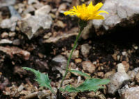 Hieracium pallescens Waldst. & Kit.